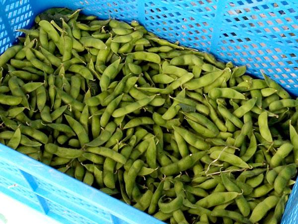 山形 果樹農園 青い空 枝豆 秘伝豆
