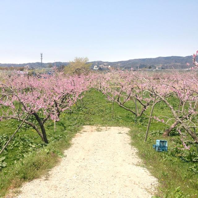 山形 果樹農園 青い空 あかつき おどろき 川中島白桃 黄金桃 美晴白桃