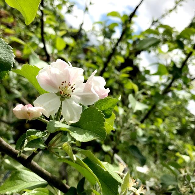 山形 果樹農園 青い空 りんご さんふじ