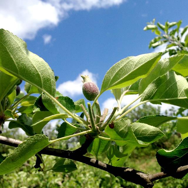 山形 果樹農園 青い空 リンゴ サンフジ