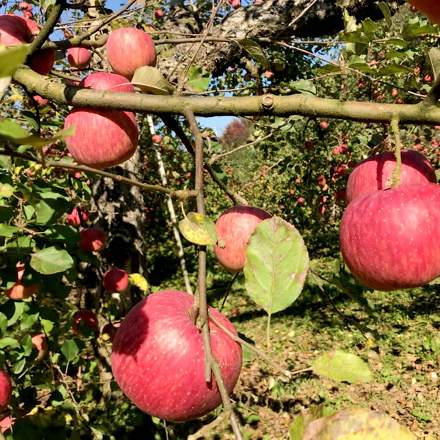 山形県産 りんご リンゴ 林檎